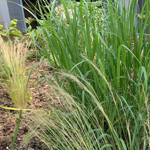 Bibelgarten-Pflanzen-Gras