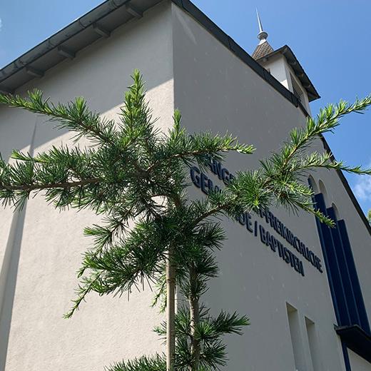 Bibelgarten-Pflanzen-Libanonzeder