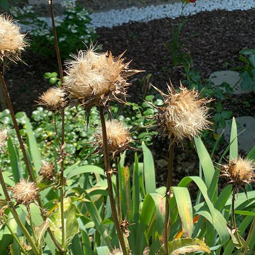 Bibelgarten-Pflanzen-Mariendistel