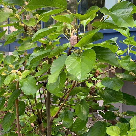 Bibelgarten-Pflanzen-Maulbeerbaum