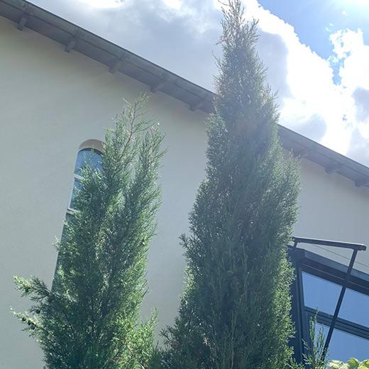 Bibelgarten-Pflanzen-Mittelmeerzypresse