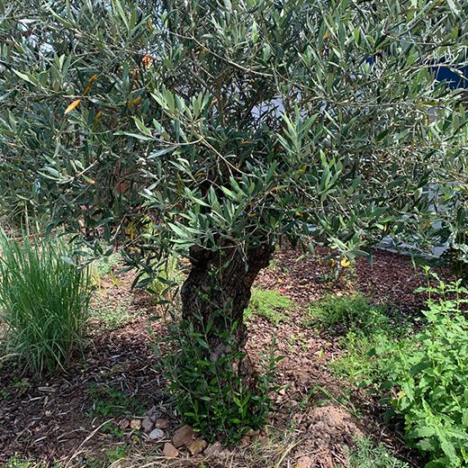 Bibelgarten-Pflanzen-Oelbaum