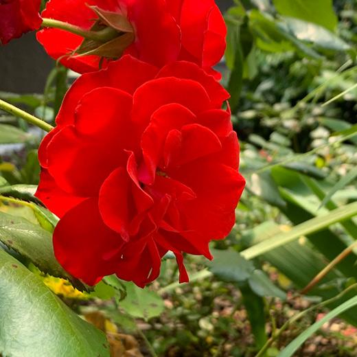 Bibelgarten-Pflanzen-Rose