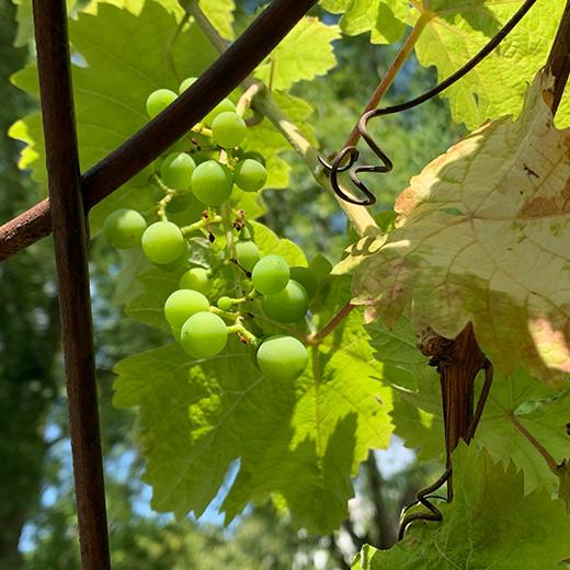 Bibelgarten-Pflanzen-Wein