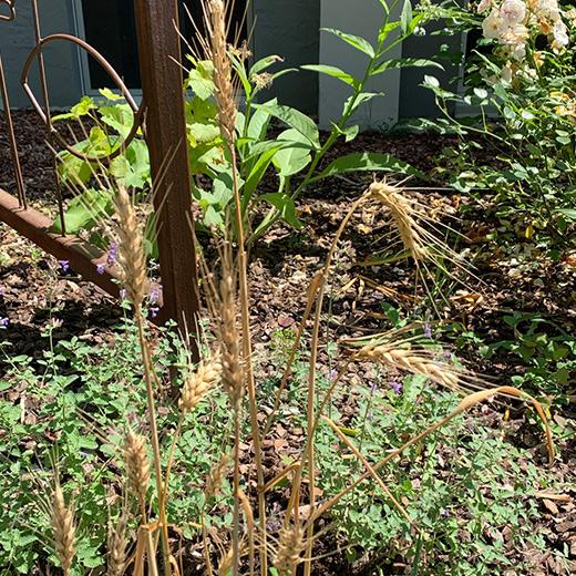 Bibelgarten-Pflanzen-Weizen